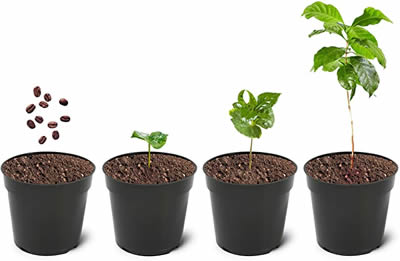 how quickly do coffee plants grow?