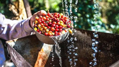 washing coffee beans
